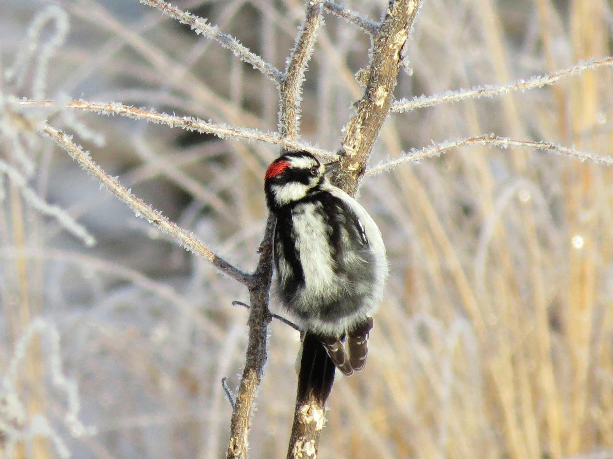 This downy woodpecker was spotted on a frosty morning at Morris Wetland Management District in Minnesota. Photo by Alex Galt/USFWS, taken in January 2016.