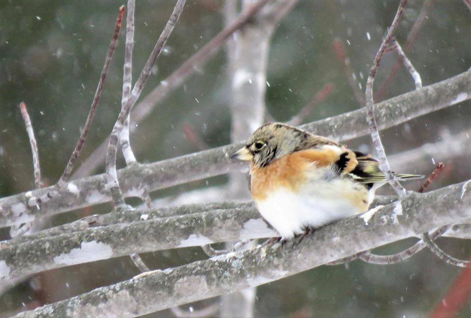 A front view of the bird, which has been hanging out around a family home near Richwood, Minn., since Jan. 25. (Photo courtesy of Nancy Henke)