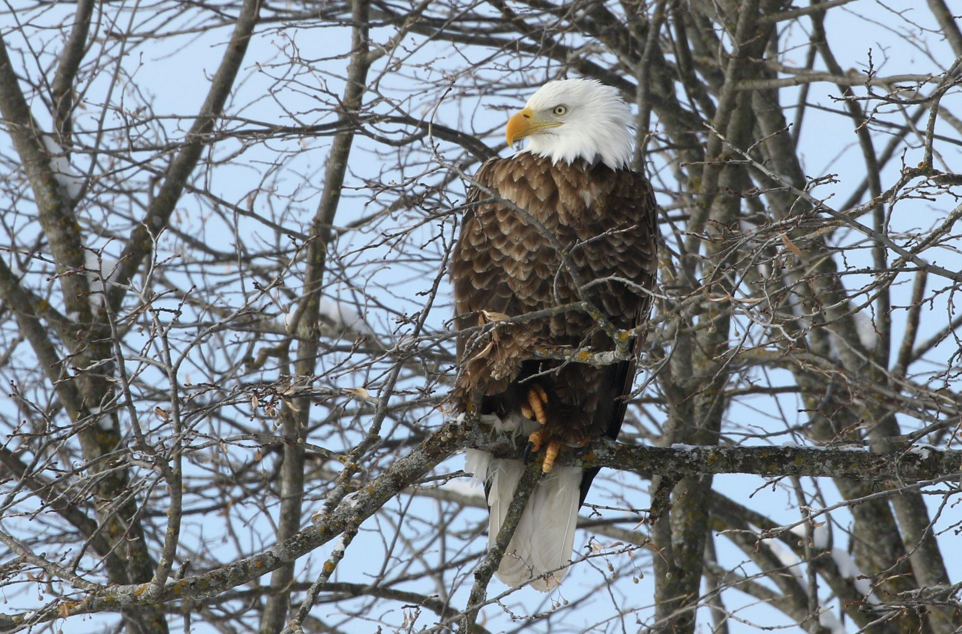 This bald eagle keeps a watchful eye on the Tamarac National Wildlife Refuge. File photo