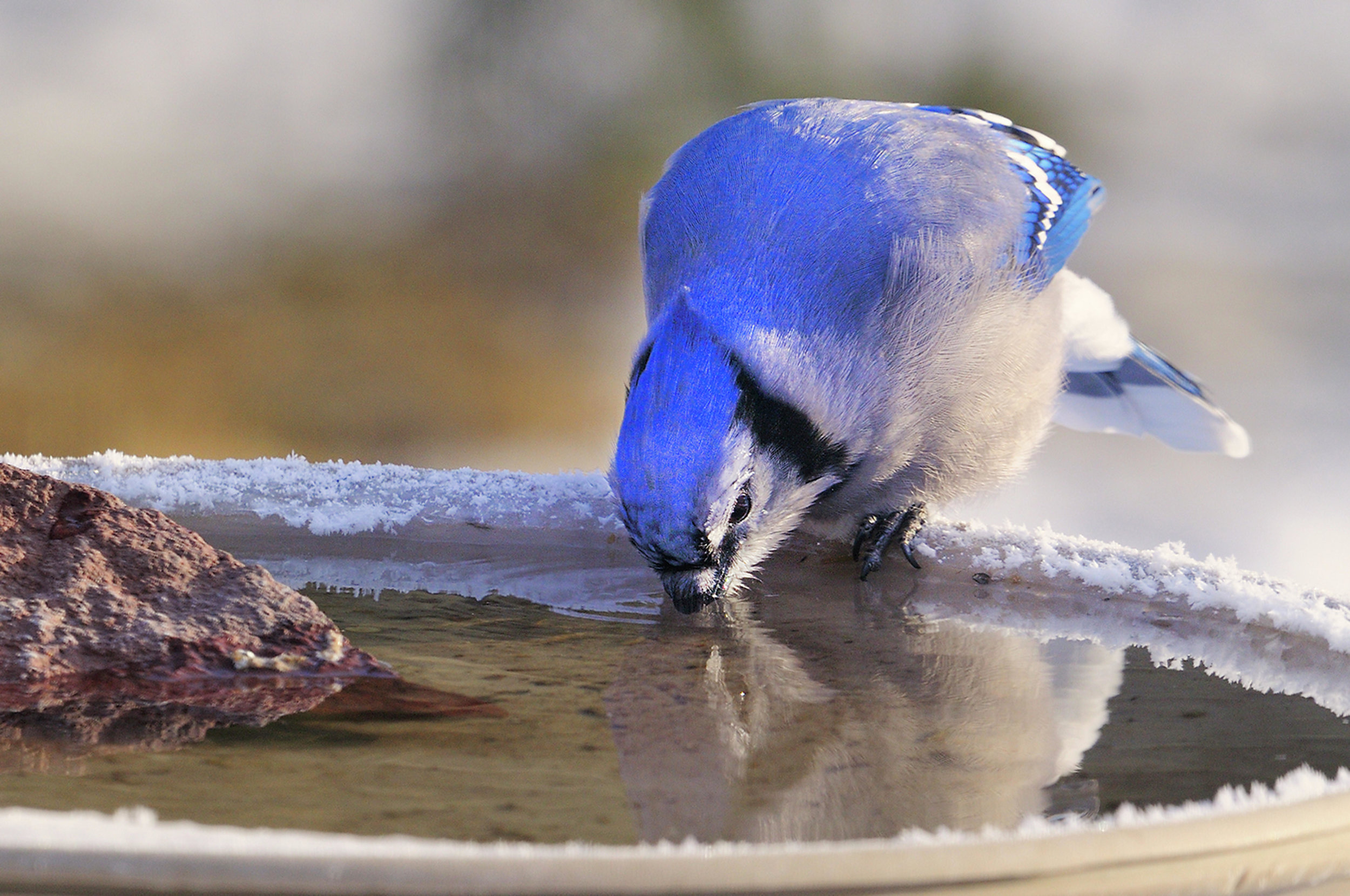 A blue jay drinks from a heated bird bath. Bird enthusiasts can attract more birds to their property by employing a heated water source.