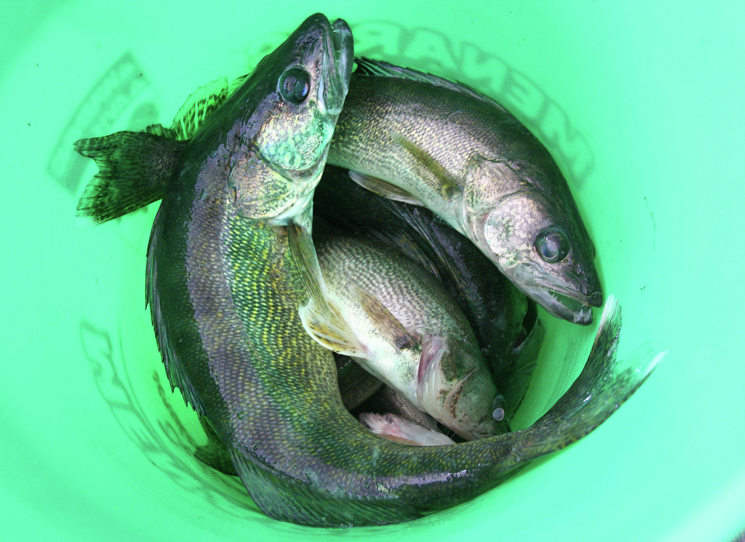 Walleyes in a bucket on Lake of the Woods. When walleye are scarce, give other types of fish a try. (Sam Cook/Forum News Service file photo)