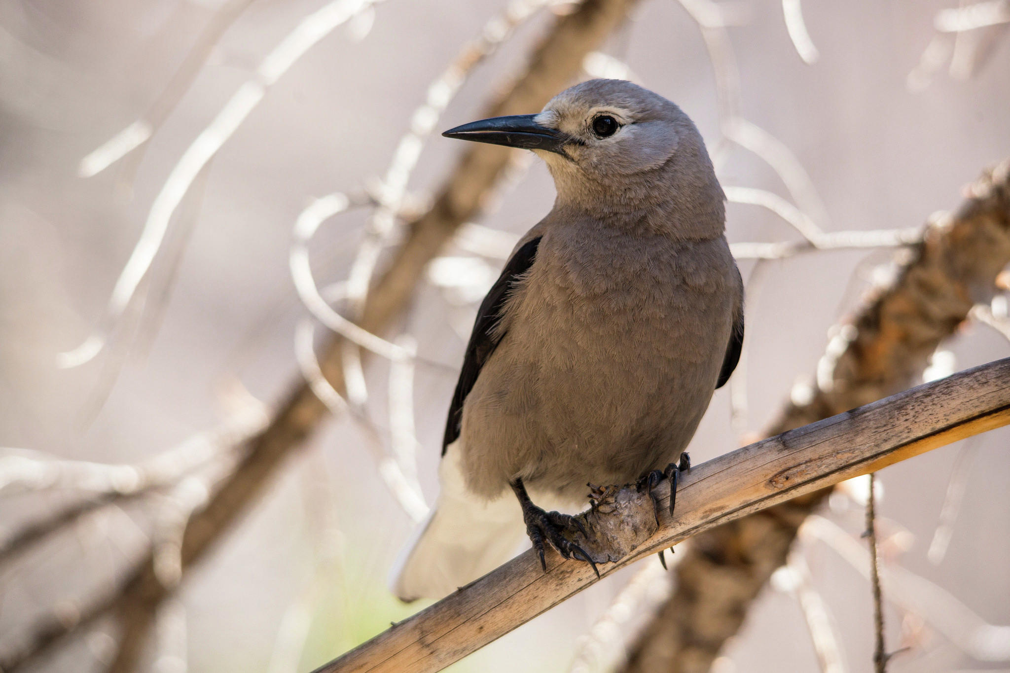 This Clark's Nutcracker was spotted at Rocky Mountain National Park. Flickr photo by Jacob W. Frank