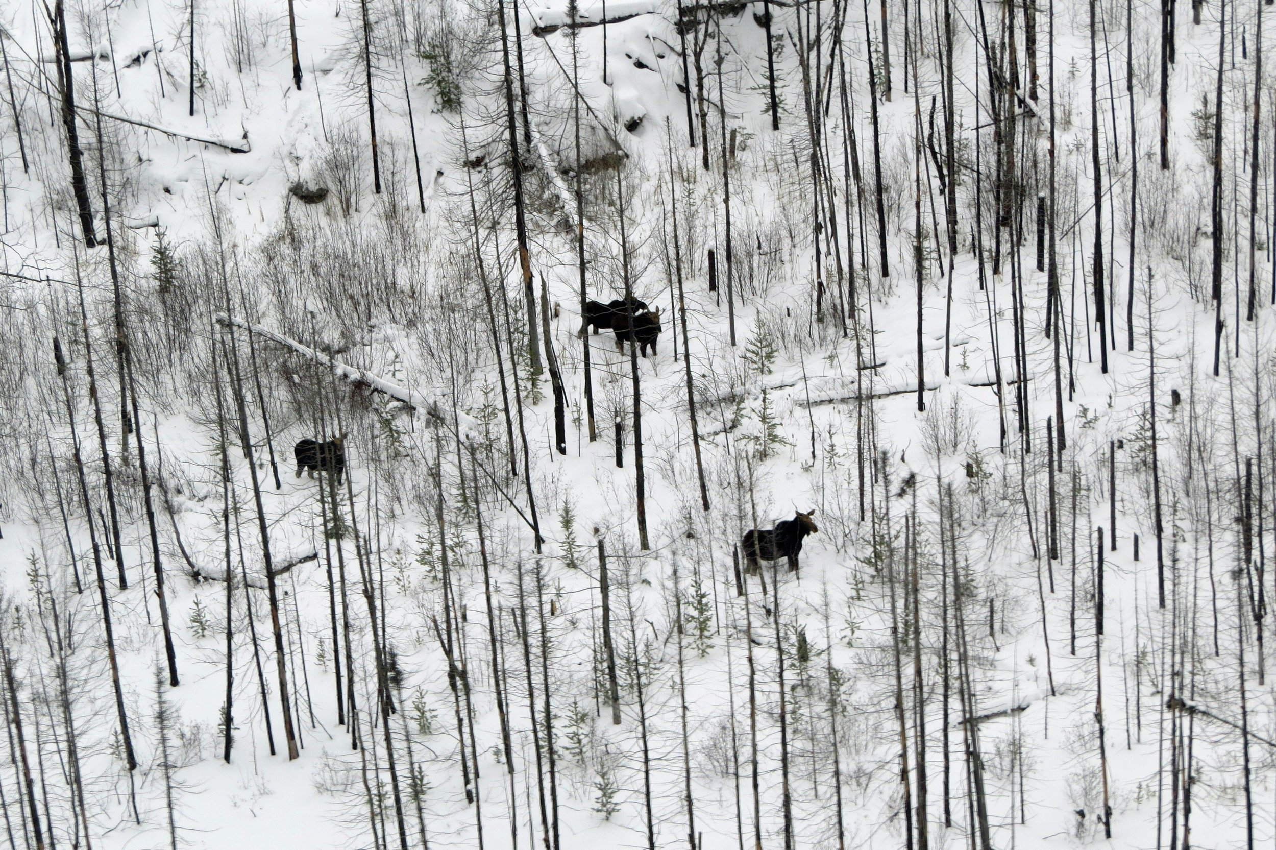 Four moose photographed during the Minnesota DNR's 2019 winter survey conducted in January. These moose were in the Pagami Creek fire area that burned in a 2011 wildlfire, creating perfect moose habitat. Photo by Mike Schrage