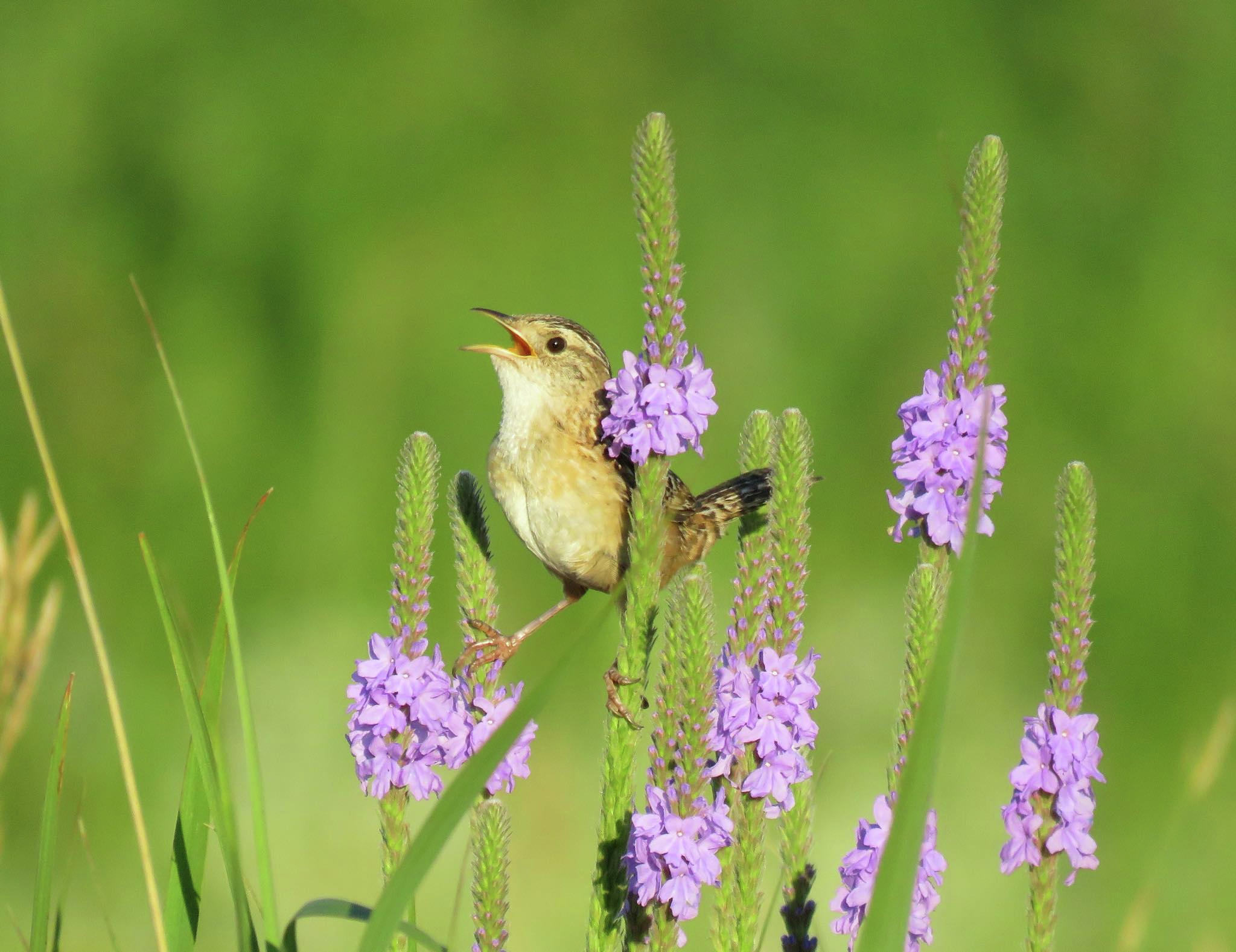 A sedge wren perches on wildflowers at Morris Wetland Management District in Minnesota. Photo by Alex Galt/USFWS Midwest Region