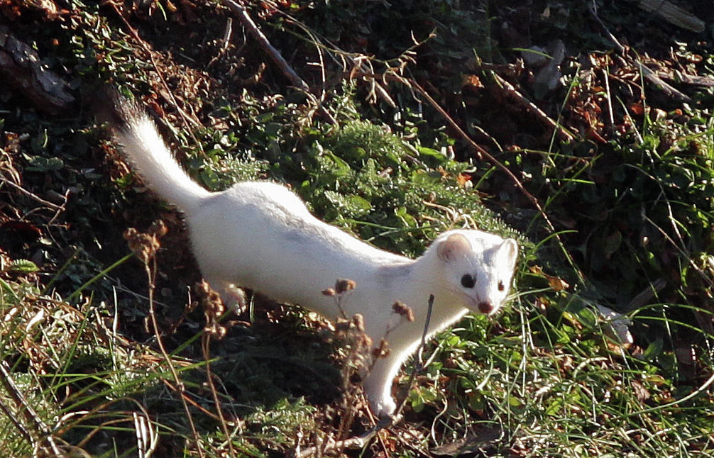 A weasel in its winter coat on the hunt. Flickr photo by Admitter