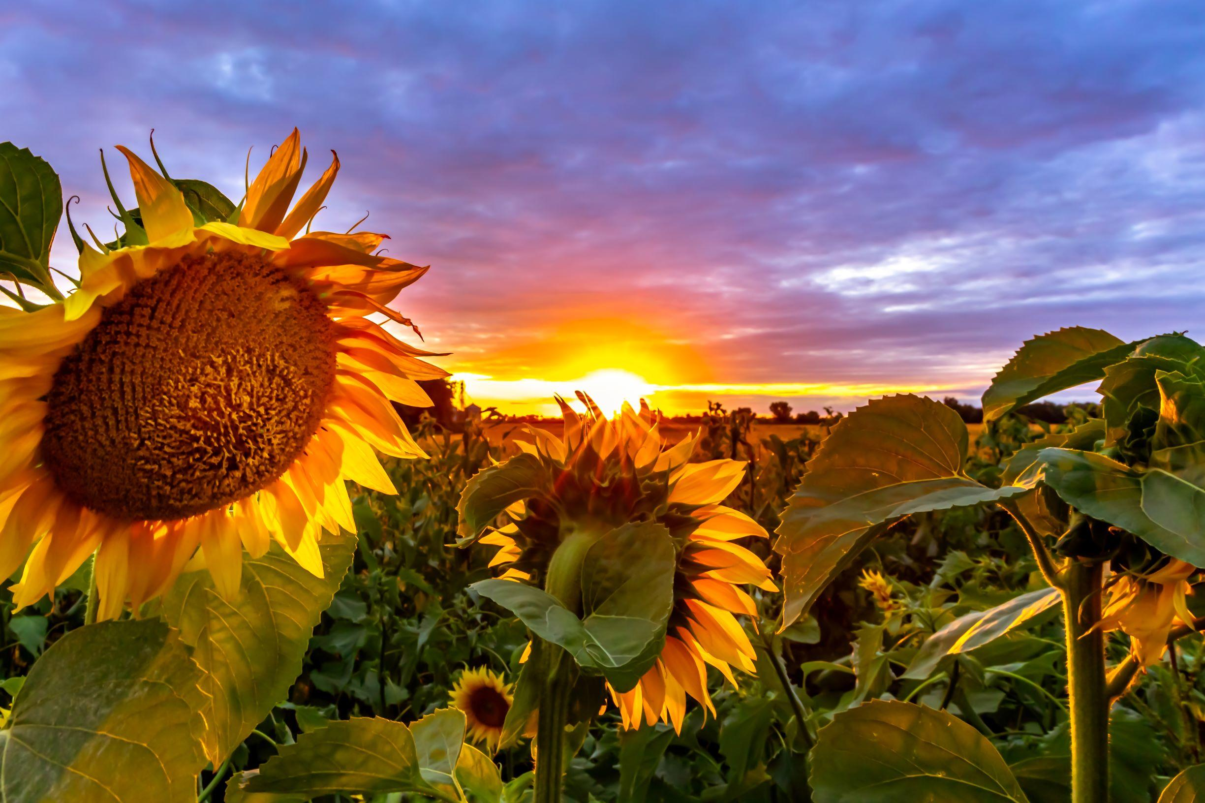 """""""Sunflower Sunset"""" by Dave Baer, taken in the summer of 2018, depicts a field of sunflowers near Ulen. (Submitted Photo)"""