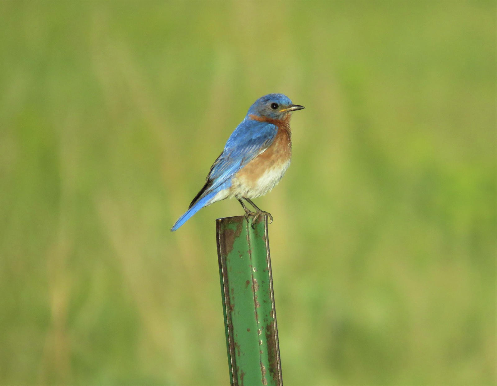 Eastern bluebird perching at Morris Wetland Management District in Minnesota. Photo by Alex Galt/USFWS.