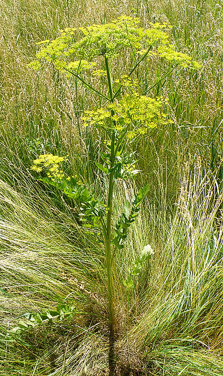 Wild parsnip is a menace to humans, habitat and livestock. Its toxic sap causes severe blistering. (Photo by Minnesota Department of Agriculture)