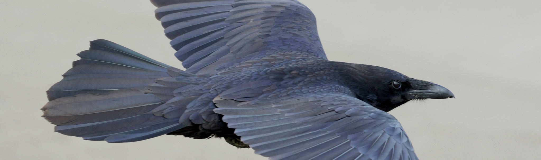 """A common raven in flight. Flickr photo by Gregory """"Slobirdr"""" Smith."""