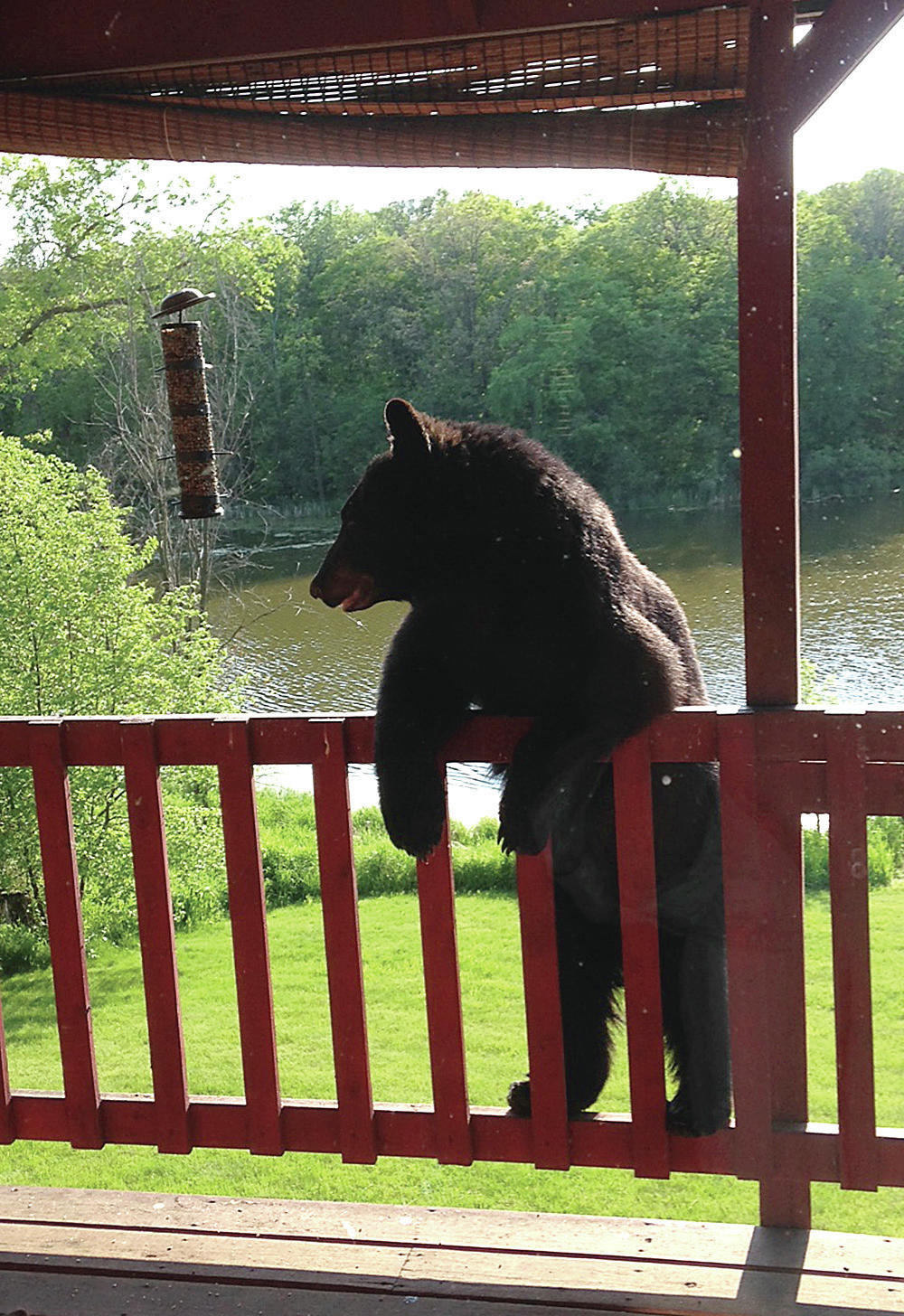 A 2-year-old black bear prepares to leave a home on Little Floyd Lake near Detroit Lakes in this 2016 photo.