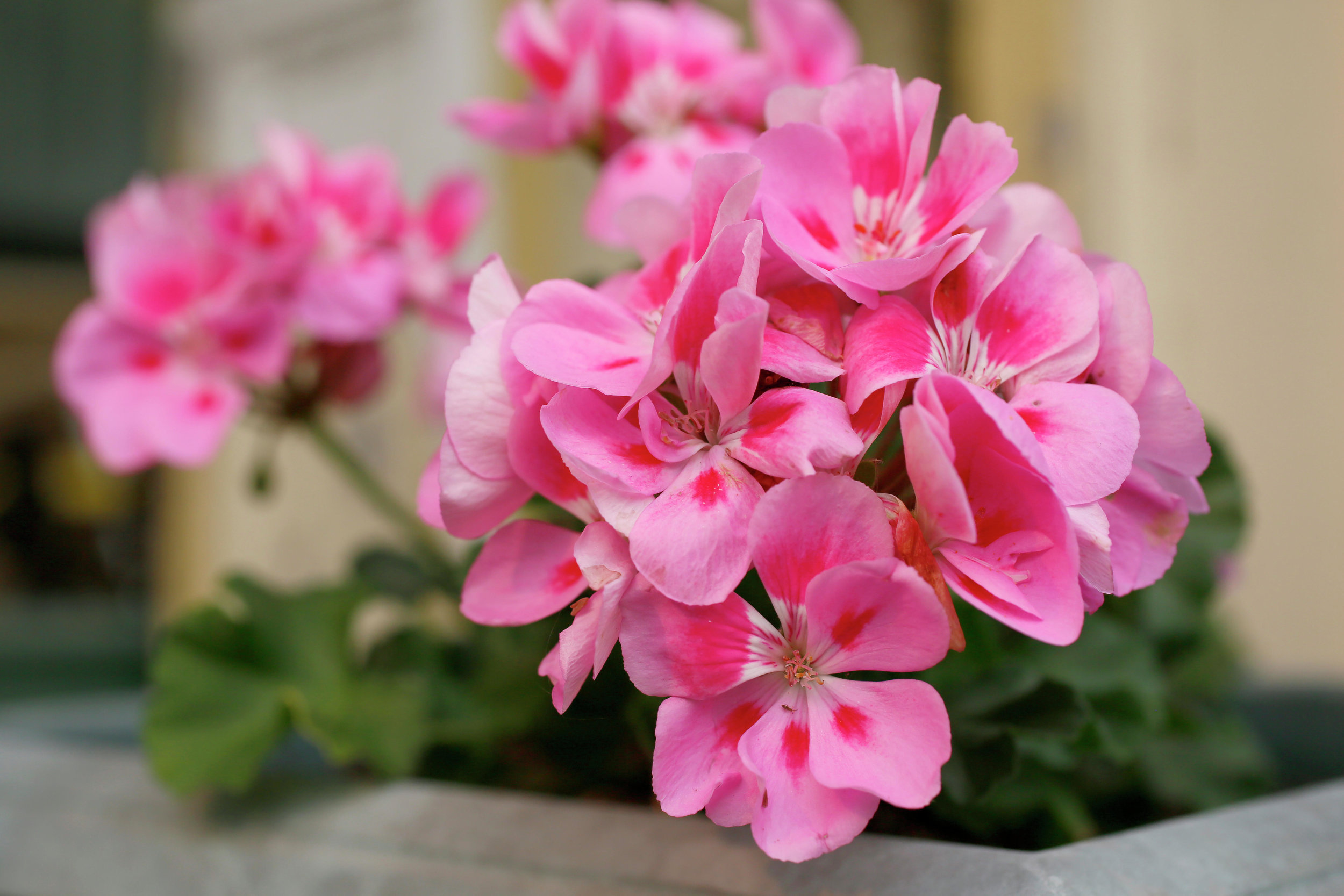 Geraniums are one way that the Detroit Lakes Lions Club raises funds for its annual eye care mission trips to Mazatlan and Cabo San Lucas, Mexico. This year's geranium fundraiser is set for May 9-11 at St. Luke's Episcopal Church in Detroit Lakes. (Forum News Service photo)