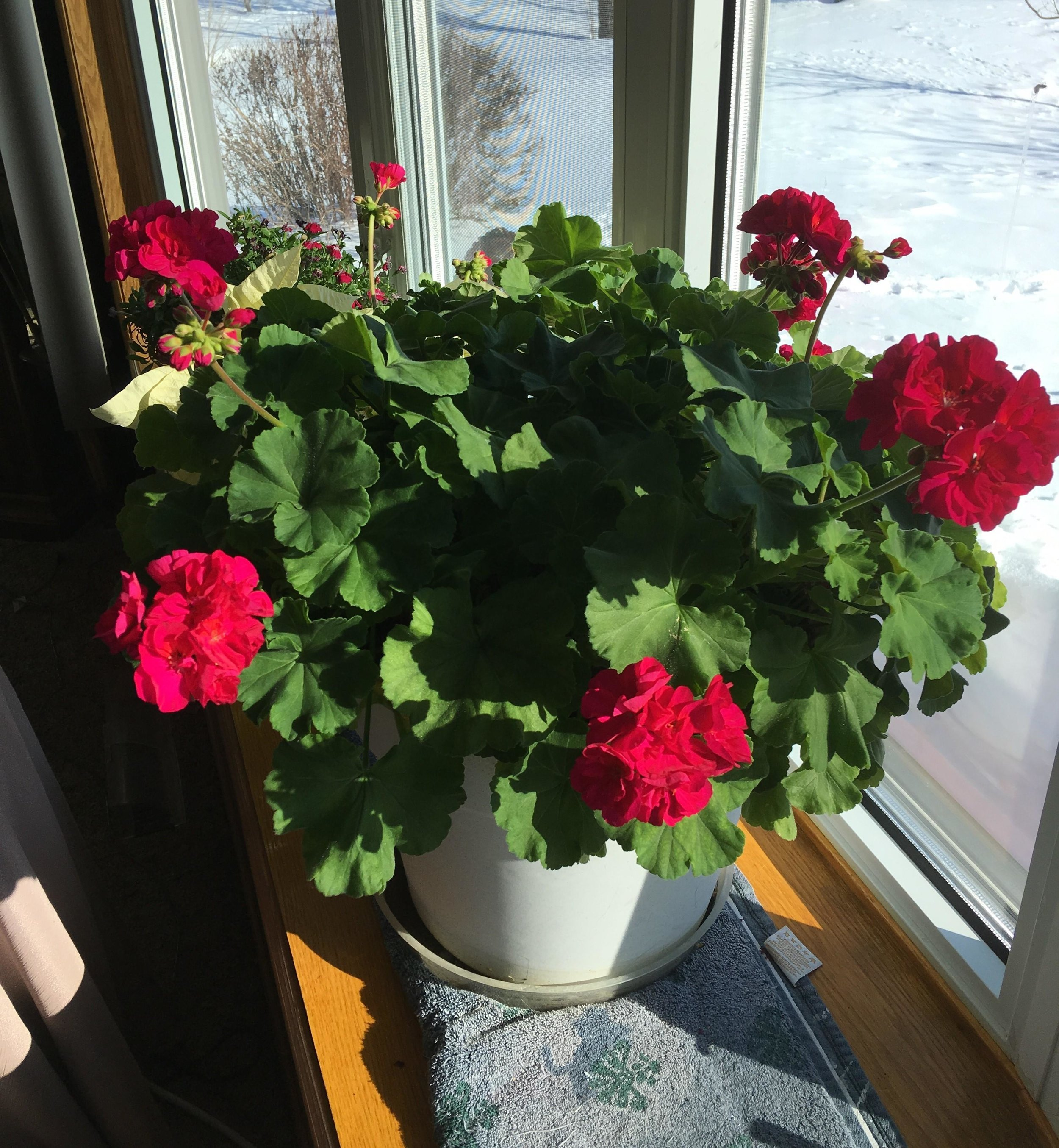 The Detroit Lakes Lions Club will be selling 12-inch pots of geraniums to raise funds for their annual mission trips to Mexico, where they help thousands of Mexican residents to be able to see better. (Forum News Service photo)