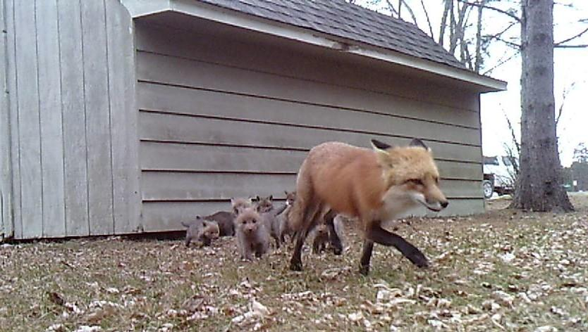 Fox litters on average range up to six kits. This litter started as nine. Forum News Service