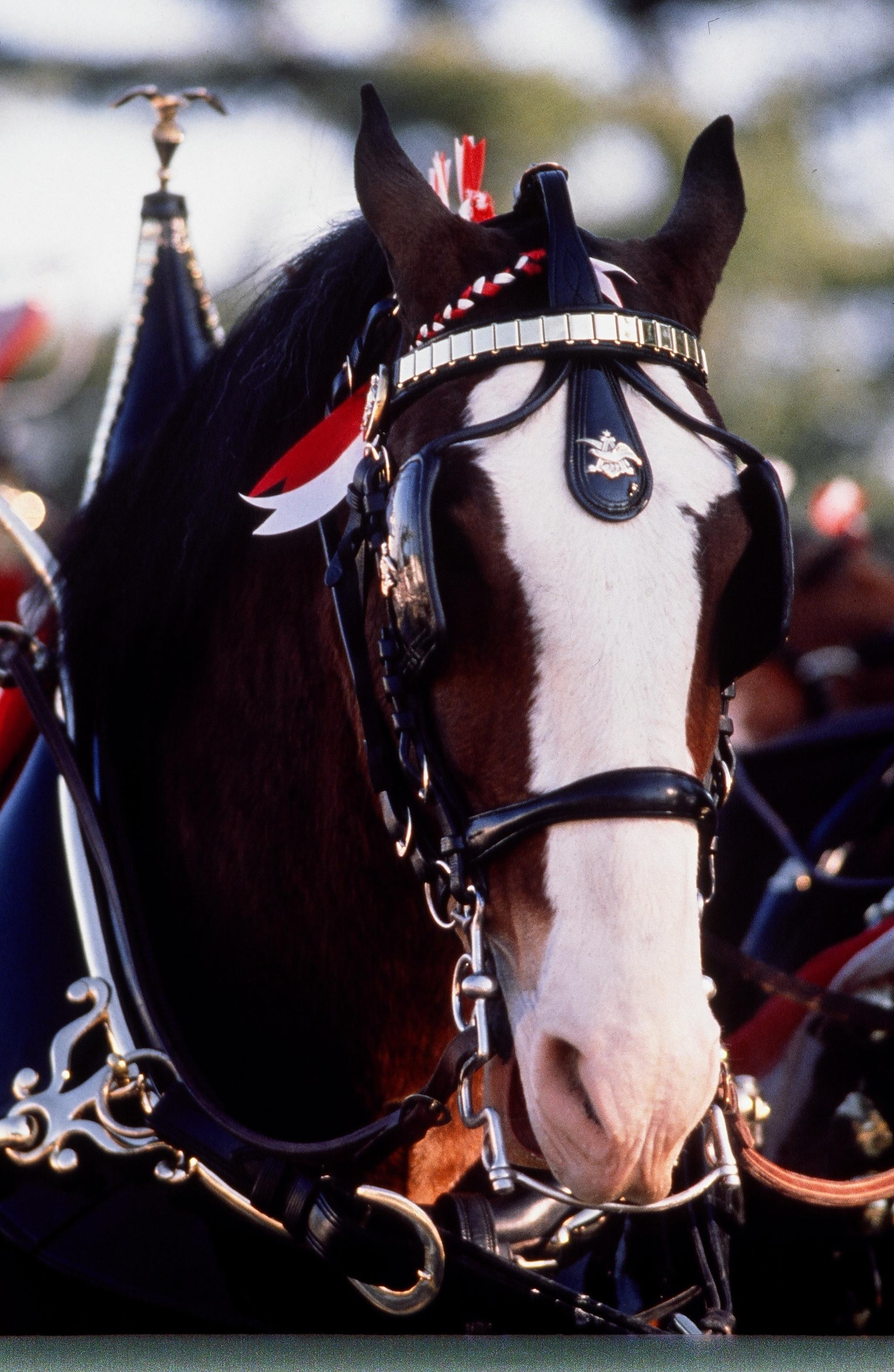 Detroit Lakes area residents will have plenty of opportunities to view the Budweiser Clydesdales up close and personal during their visit to the community this Saturday, June 1. (Submitted photo)