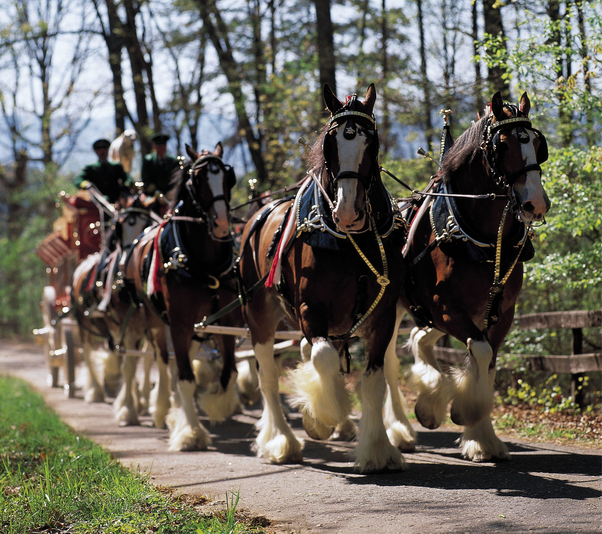 The iconic Budweiser Clydesdales will be stepping out on Detroit Lakes' West Lake Drive this Saturday, June 1 at 1 p.m. The public can also come view the eight-horse team being hitched up to the Budweiser wagon starting at noon. (Submitted photo)