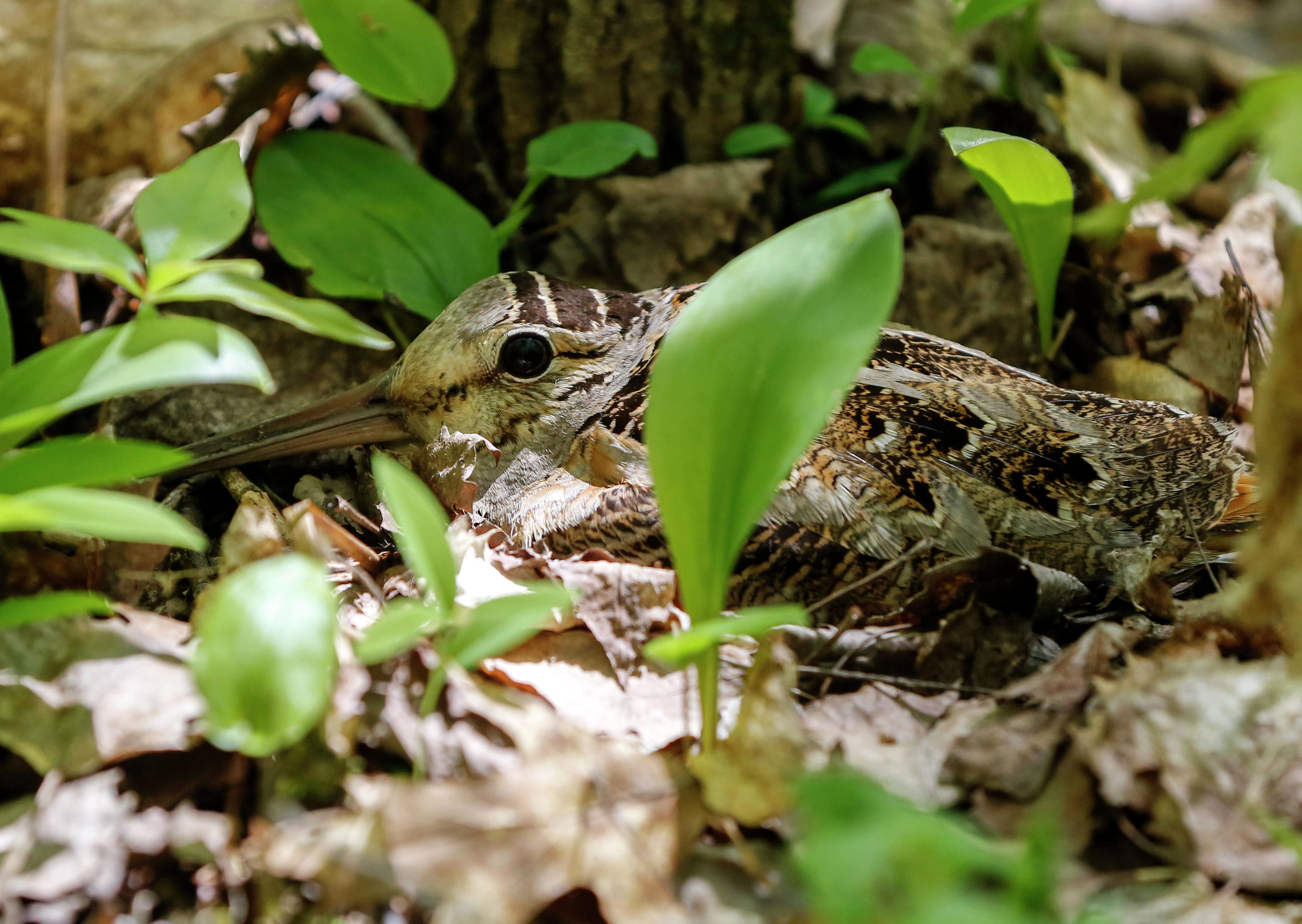 A woodcock hen sits still on her nest Saturday, June 1.