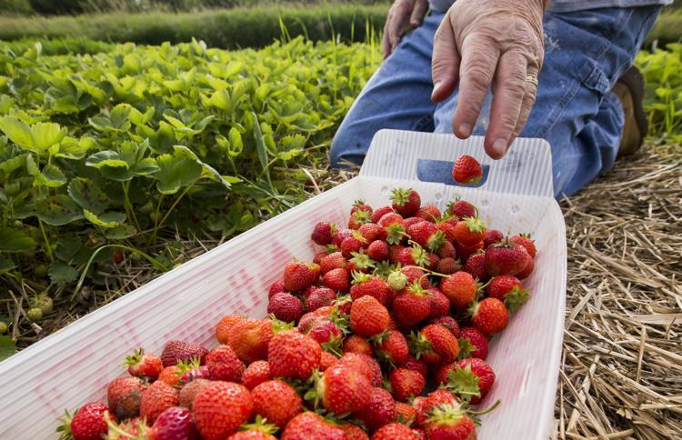 Jim Krahn, of Zumbro Falls, drops strawberries into a basket while picking at Firefly Berries on Saturday, June 22, 2019, near Rochester. Andrew Link / Forum News Service