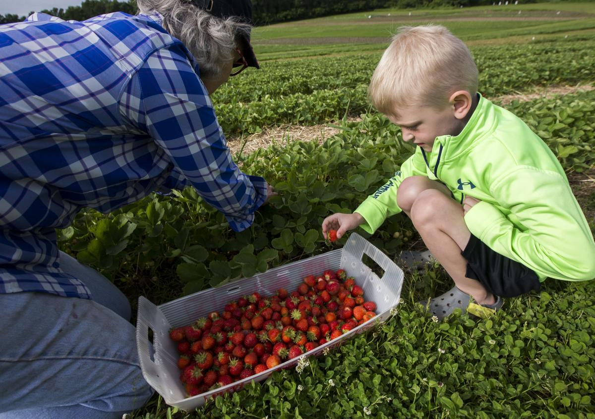 Jan Krahn, left, of Zumbro Falls, fills a basket with strawberries with her grandson, Mason, 6, at Firefly Berries on Saturday, June 22, 2019, near Rochester. Andrew Link / Forum News Service