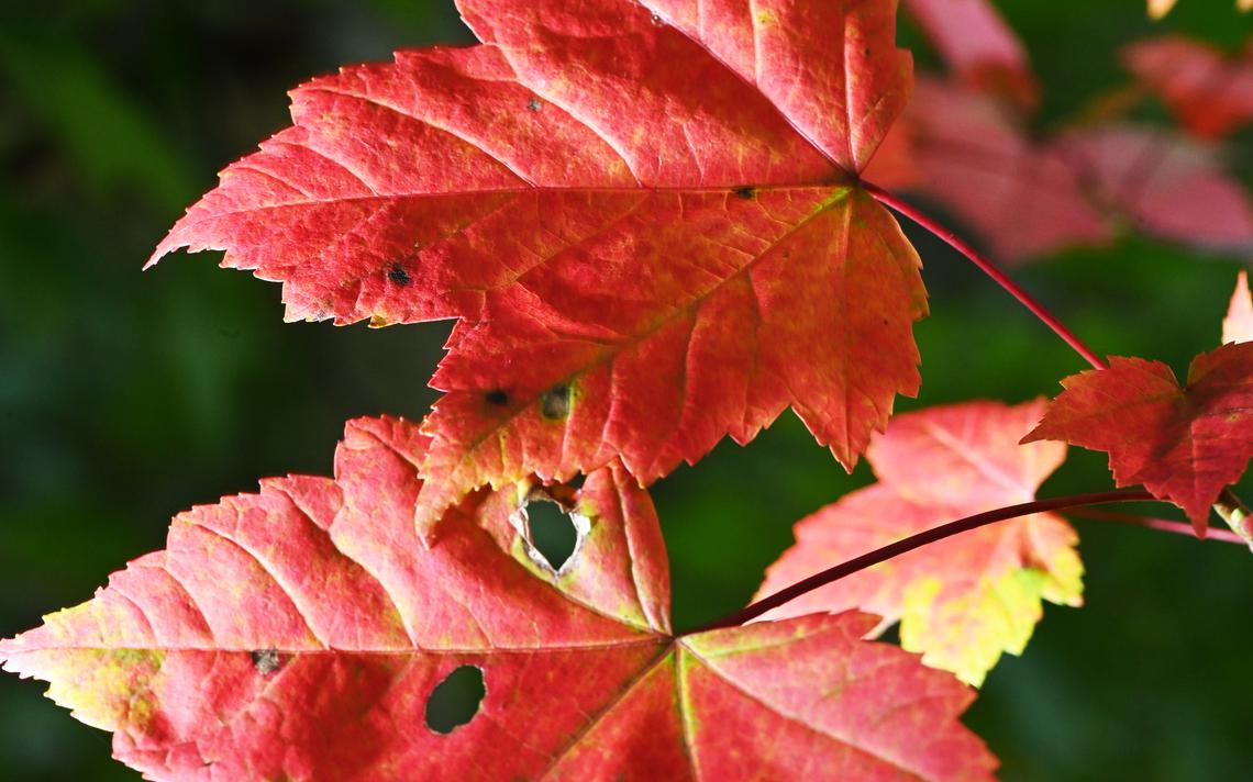 Maple leaves are showing the first color of autumn near Merrifield Wednesday, Sept. 11. Steve Kohls / Brainerd Dispatch