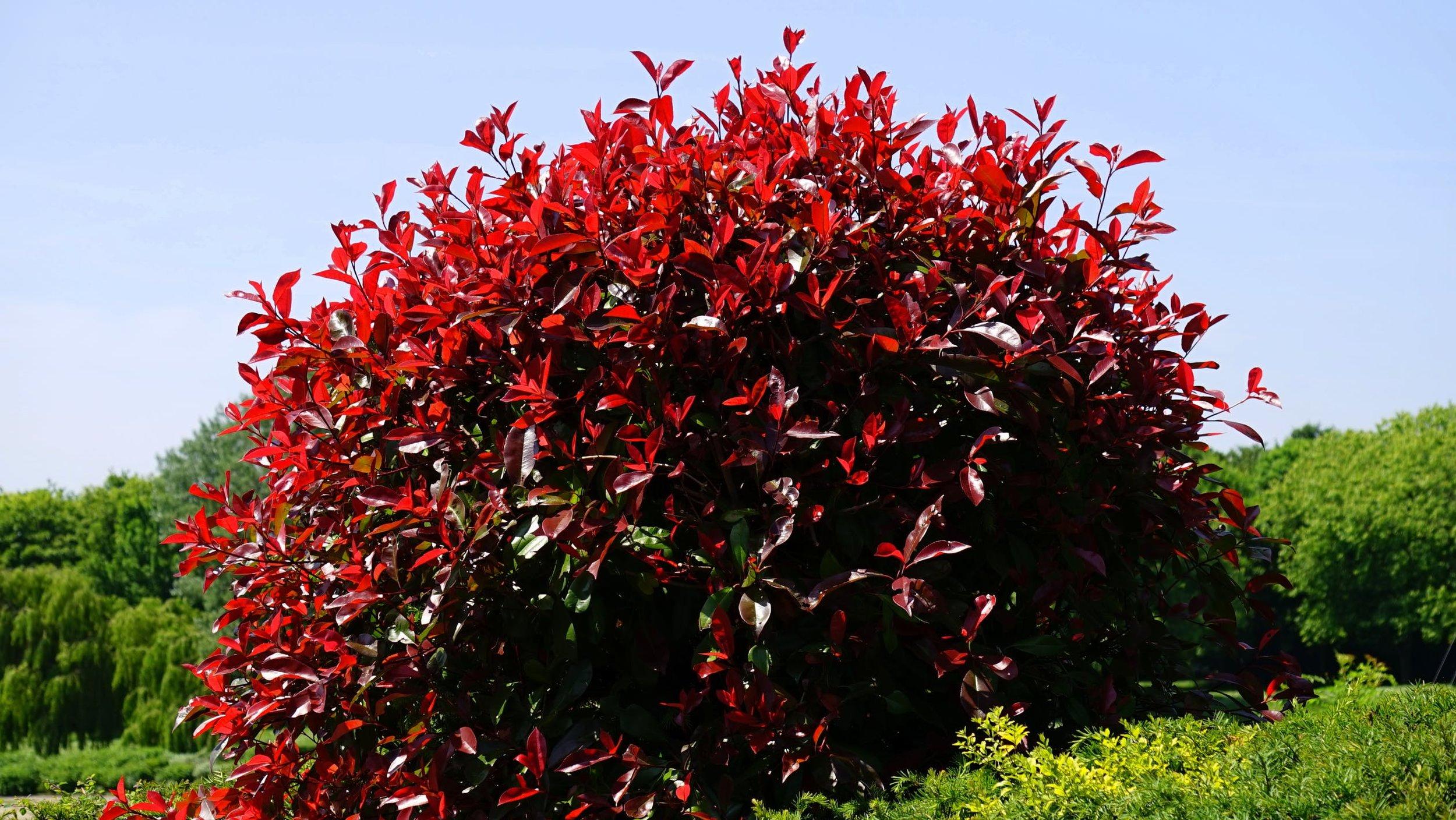 - large shrubs
