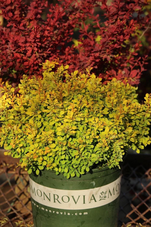 - small shrubs