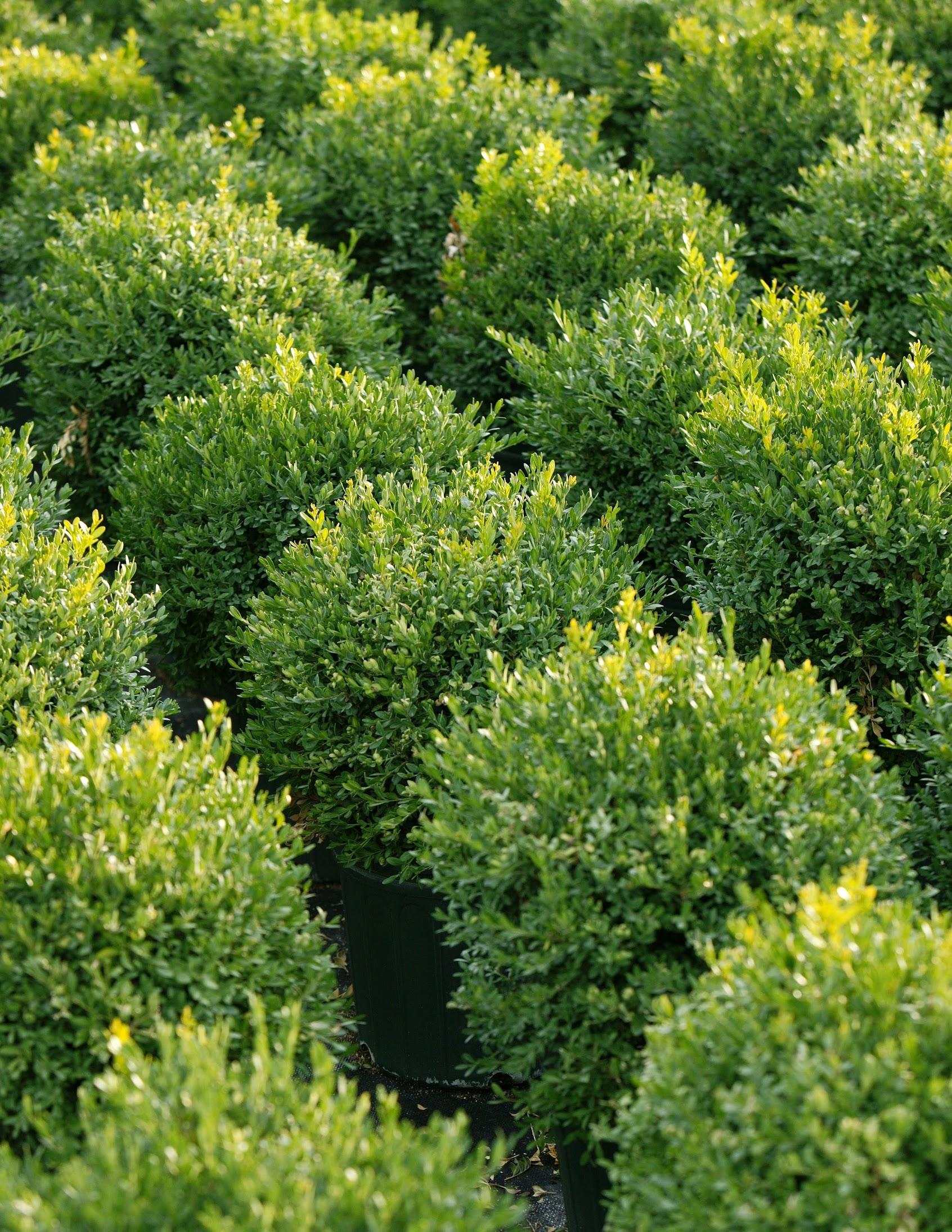- evergreen shrubs