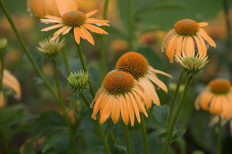 - Sun perennials
