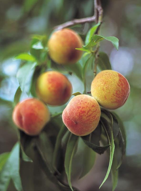 - fruit trees