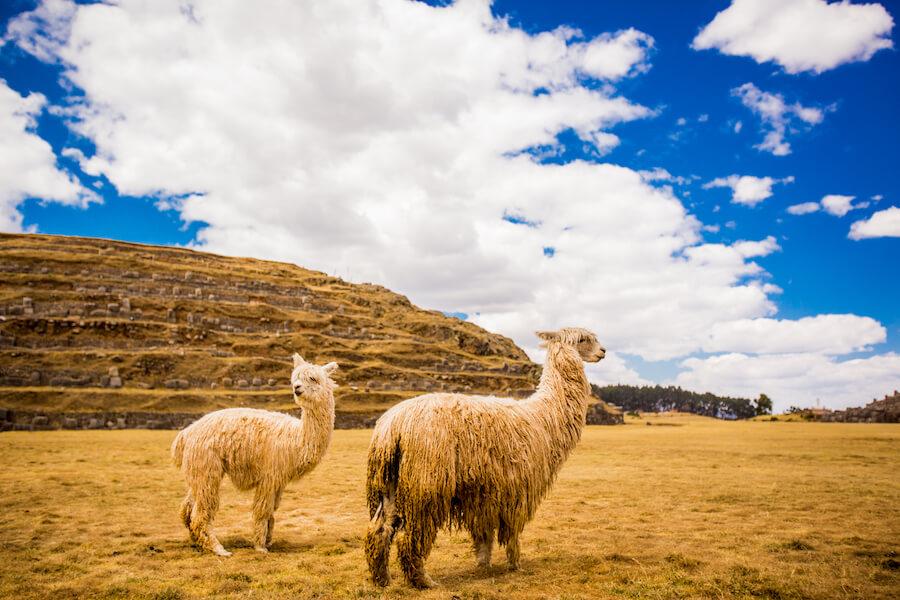 Peru alpacas