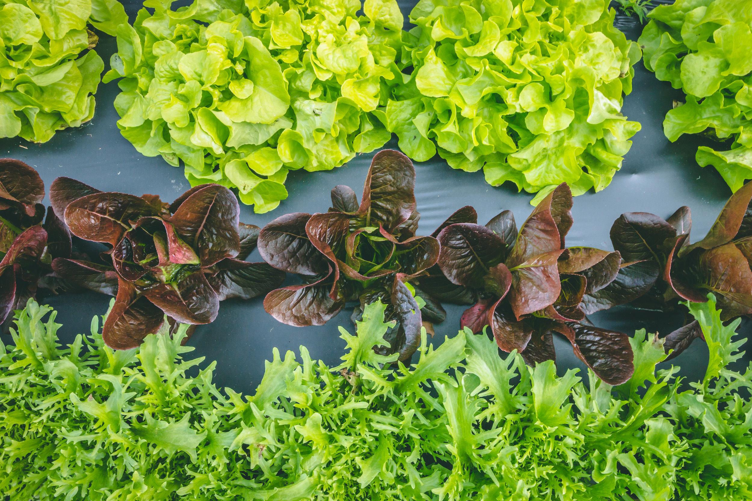 lettuce trio-1356.jpg