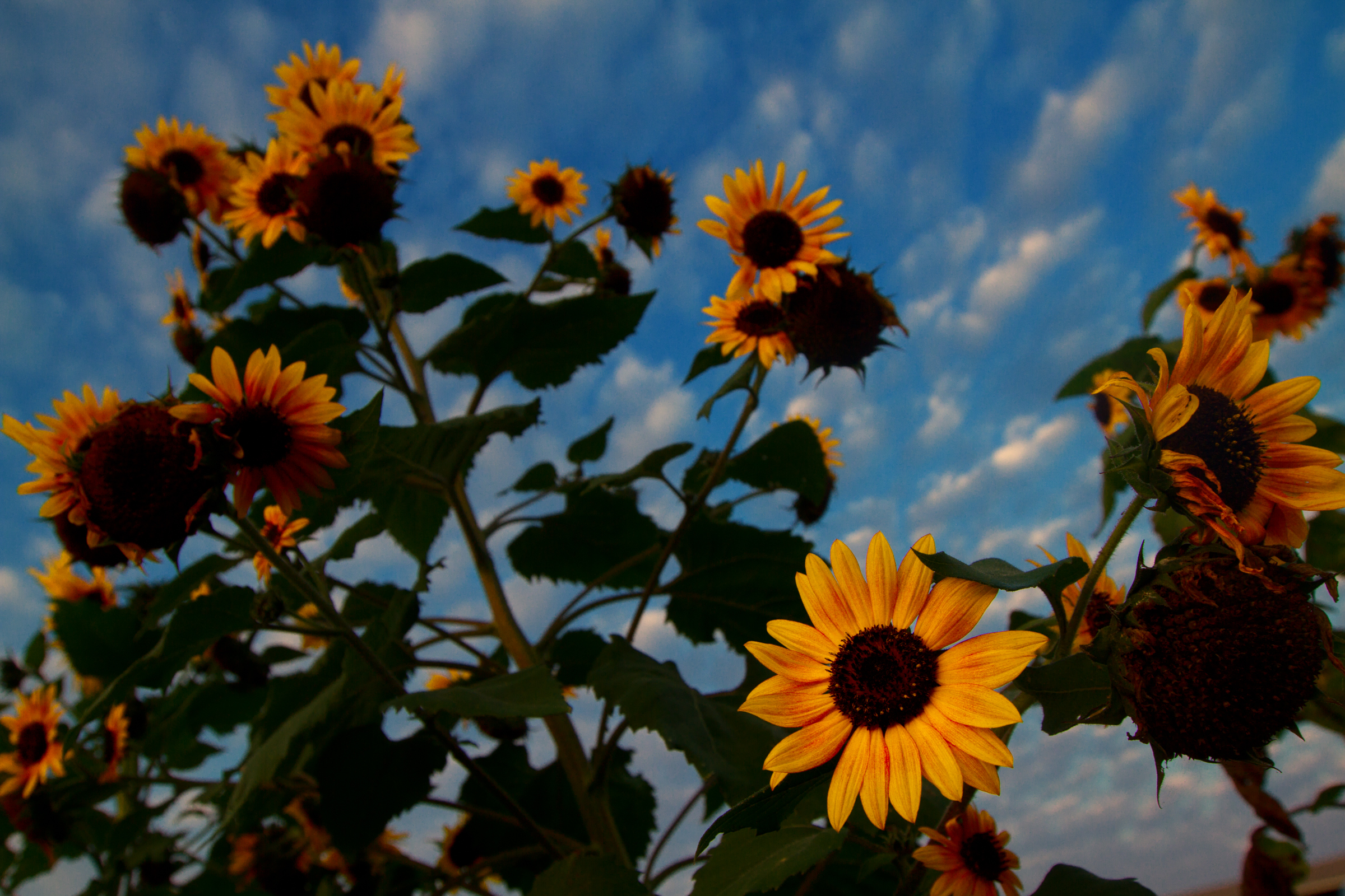 Libby_Volgyes_013_farm_photography_palm_beach_county_sunflowers_kai_kai.jpg