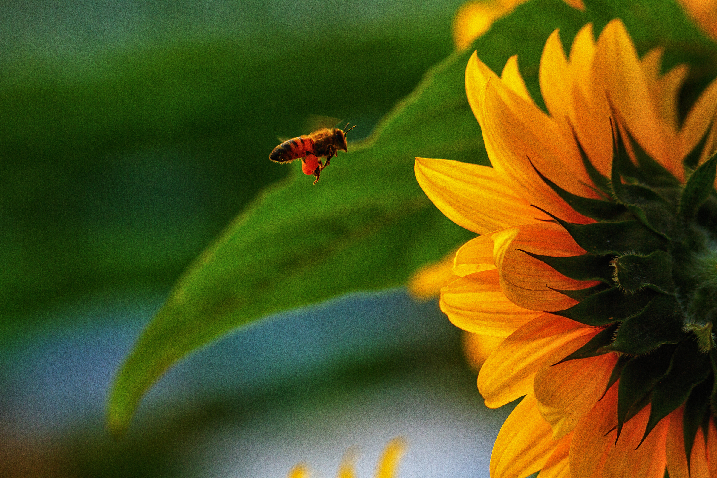 Libby_Volgyes_018_farm_photography_palm_beach_county_bee_sunflower_pollinate.jpg