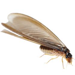 termite-1.png