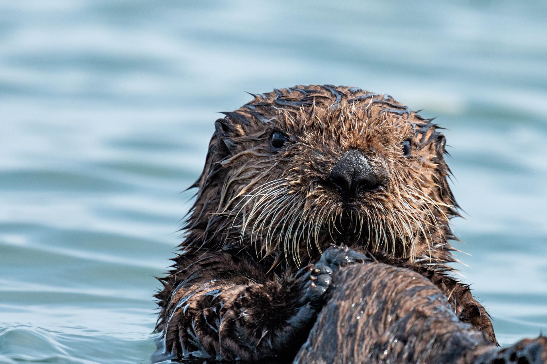 Sea Otter Pup |  Enhydra lutris