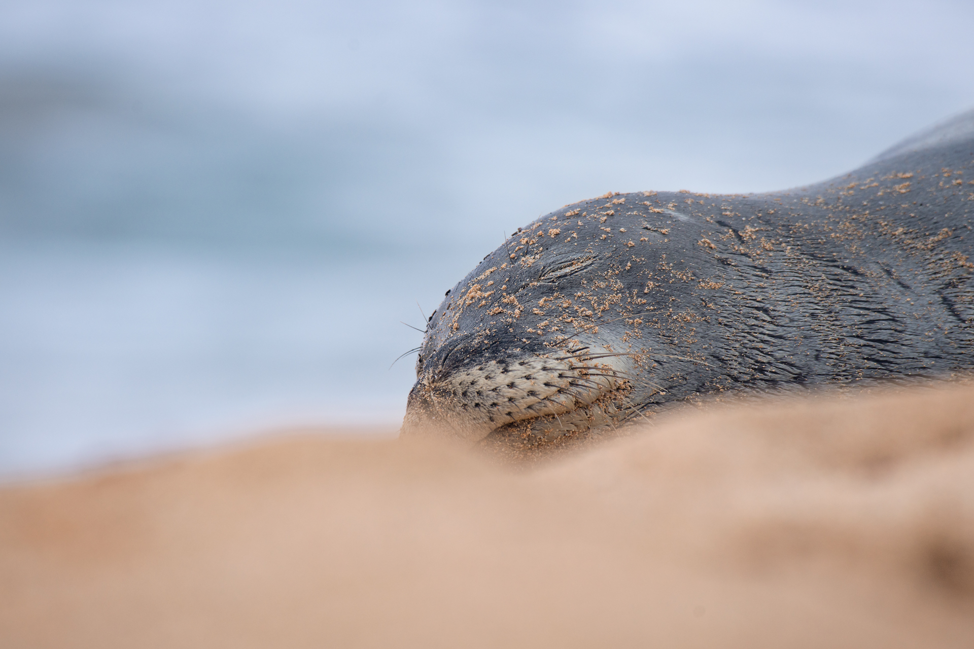Hawaiian Monk Seal |  Monachus schauinslandi