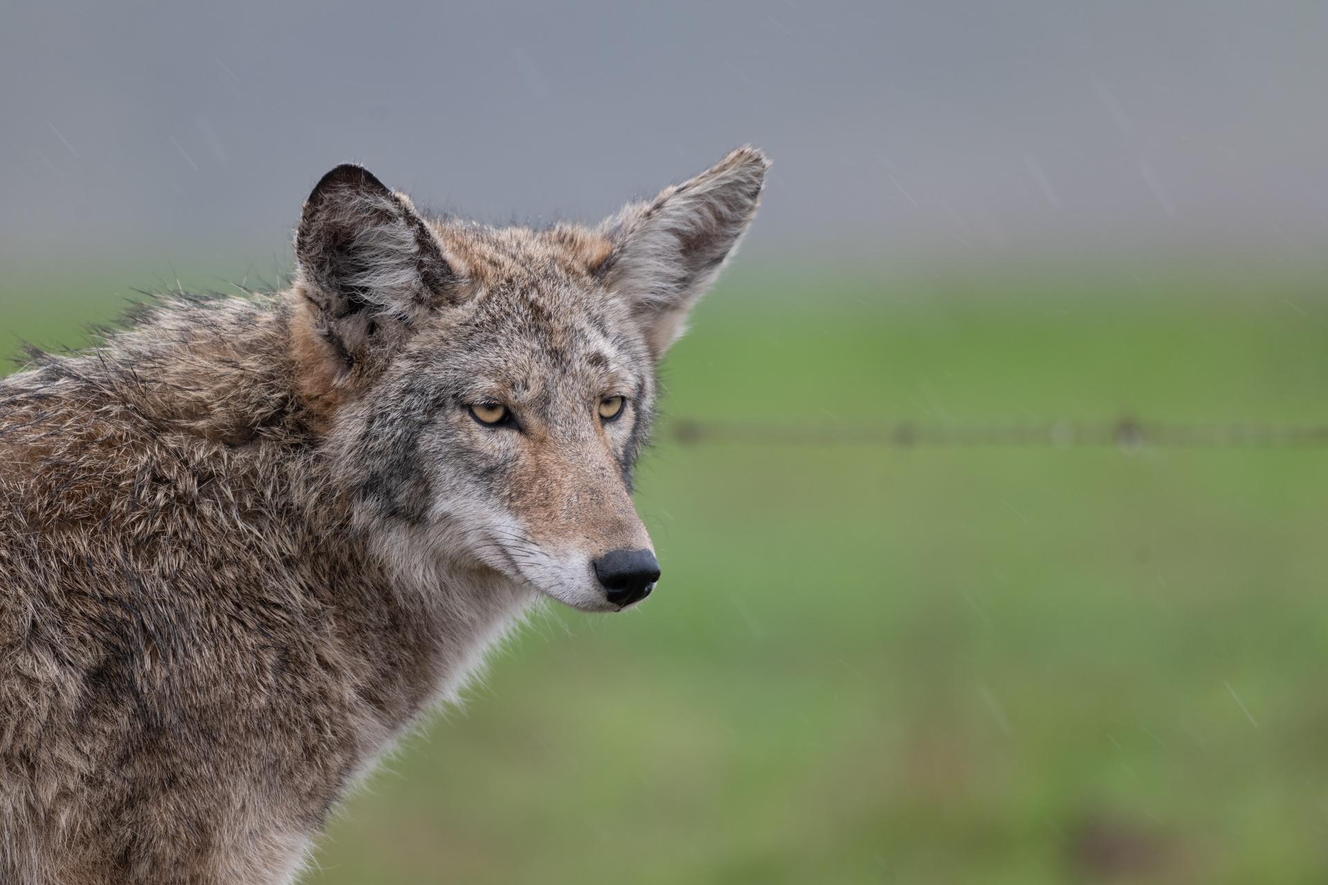 Coyote |  Canis latrans