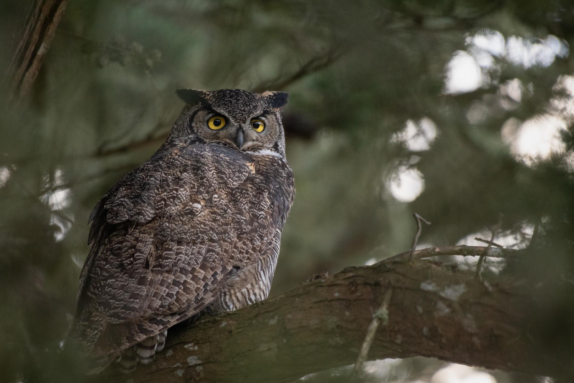 Great Horned Owl |  Bubo virginianus