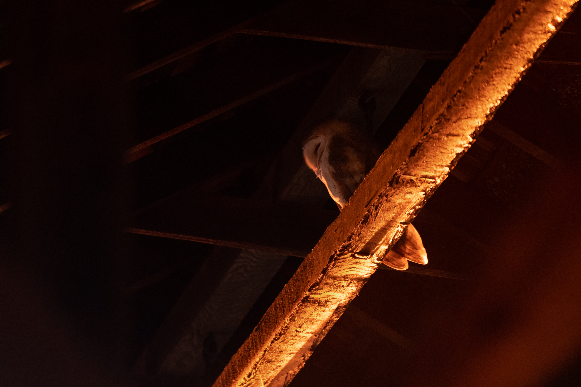 Barn Owl |  Tyto alba