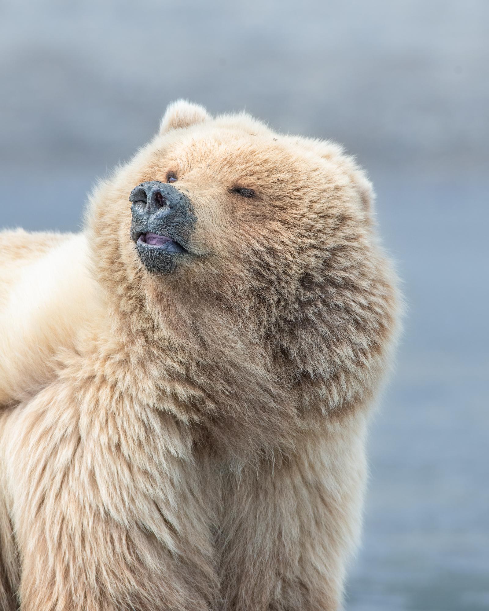 Brown Bear |  Ursus arctos horribilis