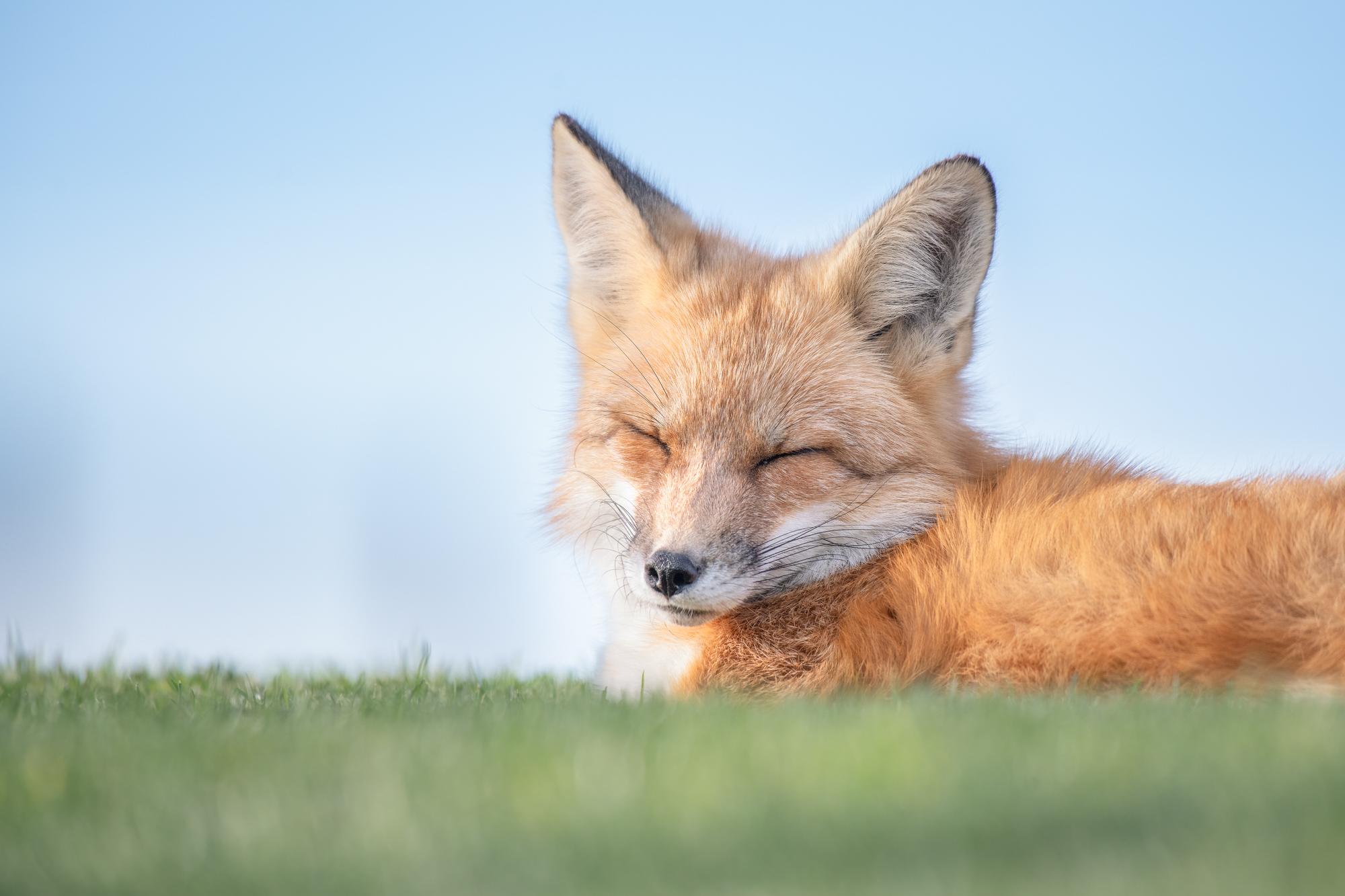 Red Fox |  Vulpes vulpes