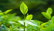 Green_tea1.jpg