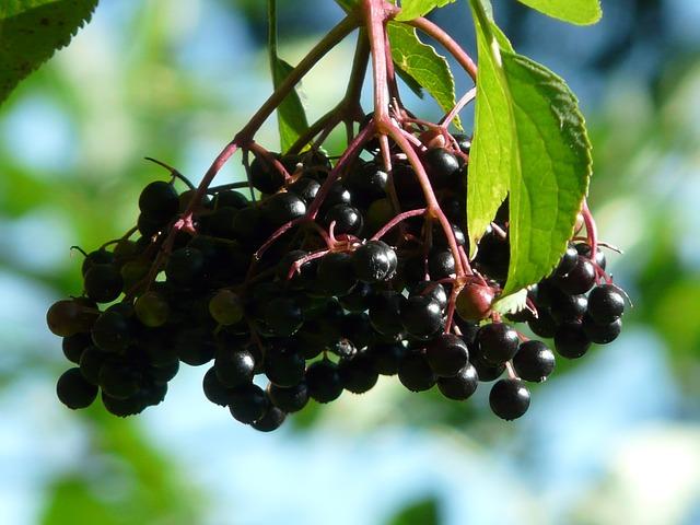 black-elderberry.jpg