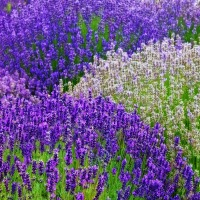 growing-lavender.jpg