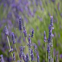 How-to-get-rid-of-a-headache-with-lavender.jpg