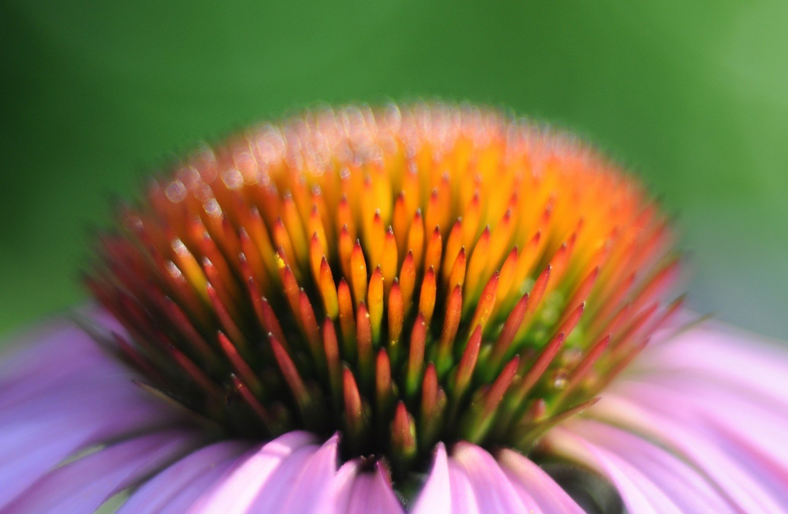 close-up-view-flower-close-to-coneflowers.jpg