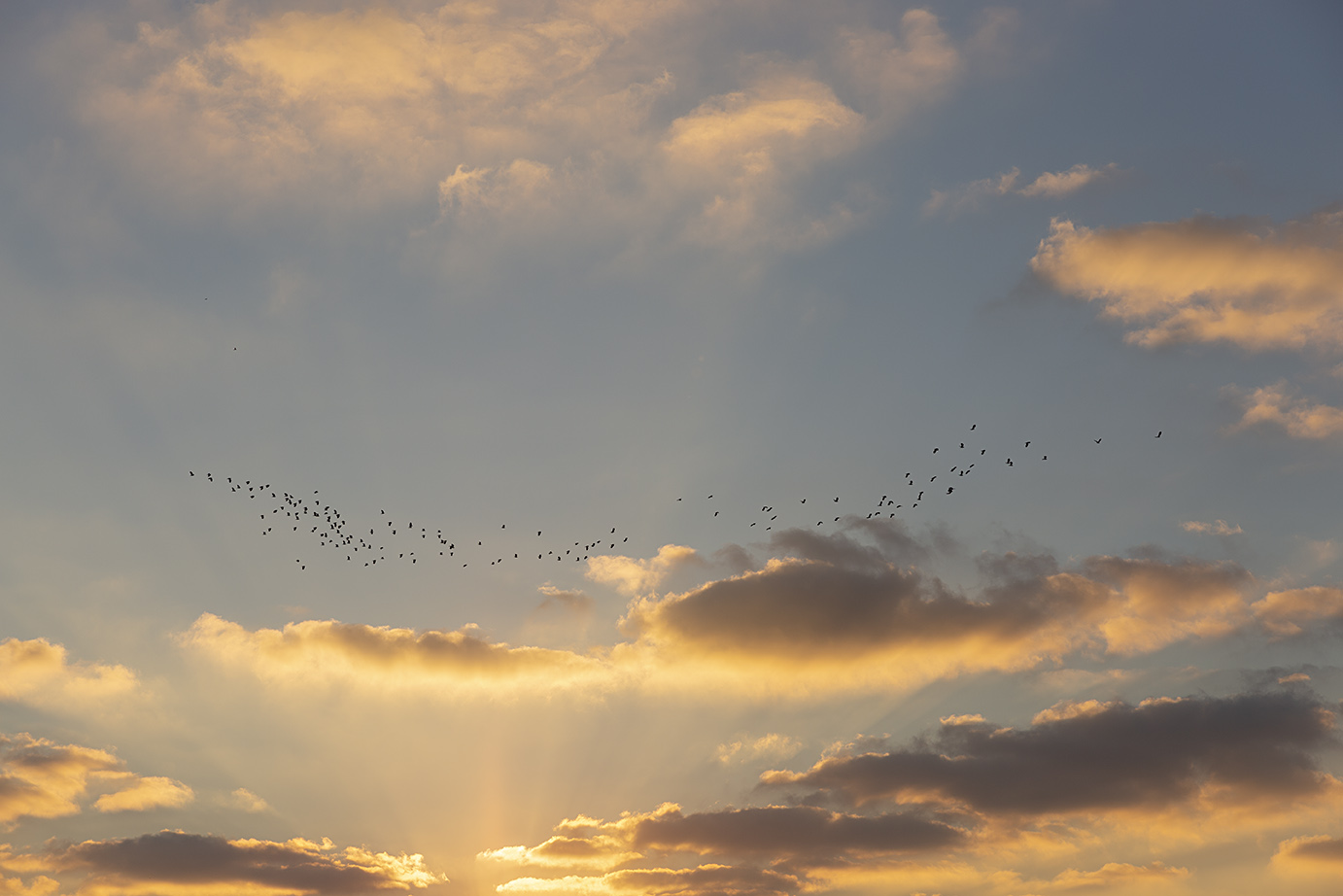 A flock of lapwings (or 'peewits') fly across the estuary at sunrise
