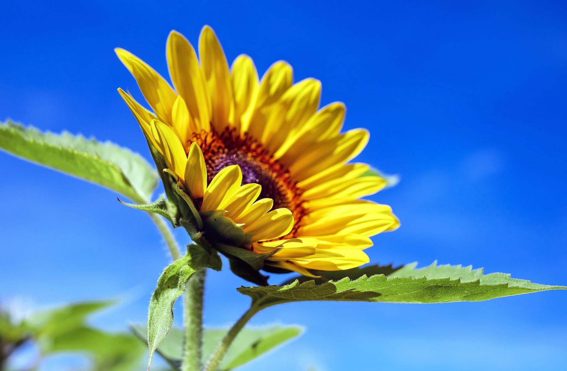 sunflower-1536088_1920.jpg