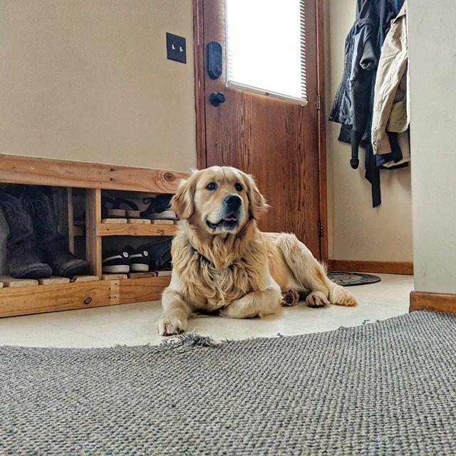 The dog, the myth, the legend: Marcus Aurelius 😍😍 • • • • #goldenretriever #puppylove#golden #retriever#goldenretrieverpuppy #goldenretrieversofinstagram #doglovers #doglover #doggy #instadog #doggo#ilovemydog#dogphotography #dogoftheday#dogsofinstagram #dogs #dog #pet #puppy #instadog #love #dogstagram #dogs_of_instagram #dogsofinstaworld #marcusaurelius #regal #noble #royalblood #badlandretrievers #NoDak