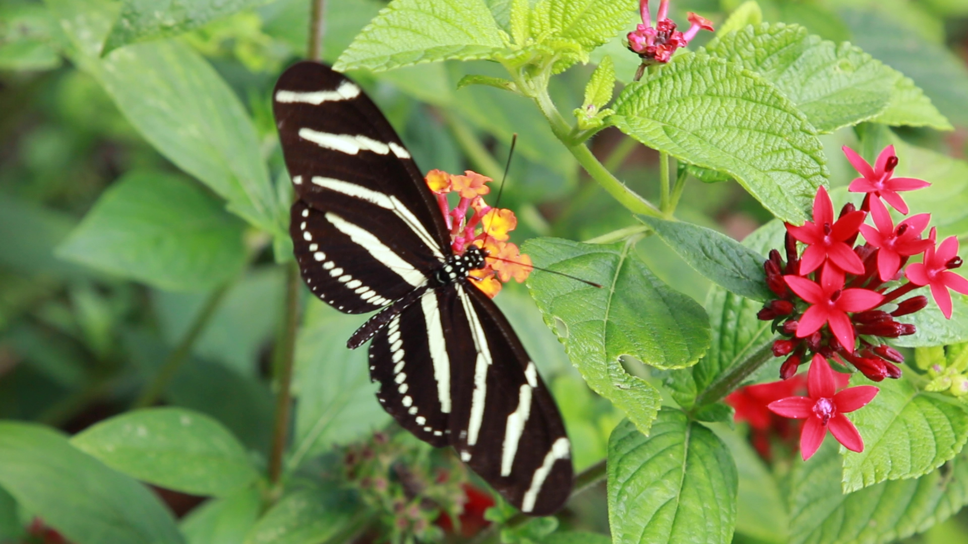 The Florida State Butterfly called the Zebra Longwing. Photo by: Justin Dalaba