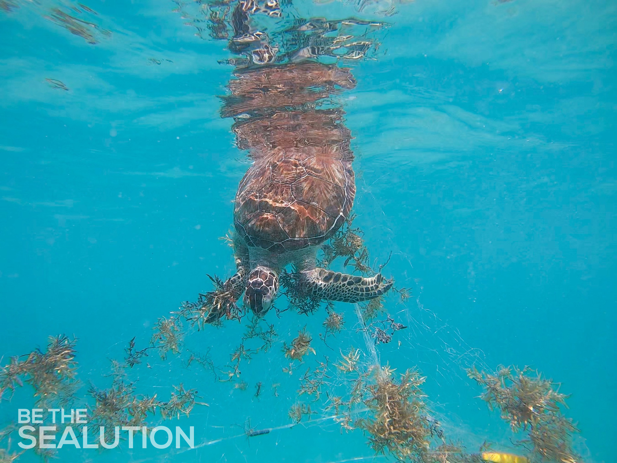 Juvenile green sea turtle strangled in gill net.